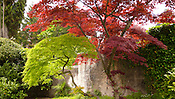 Acer palmatum, japanese maple, Tremezzo, Italy.
