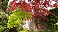 Acer palmatum, japanese maple, Tremezzo, Italy.