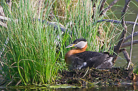 Red-necked Grebe incubating eggs on a nest