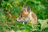 Red Fox pup head (Vulpes vulpes), Normandy, France