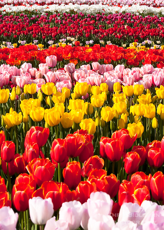 Rows of tulips colored red, yellow, pink and white are seen at a tulip festival creating a rainbow of colors on a sunny day.