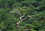 A sculpturesque tree stands out from the forest, Yakushima, Japan