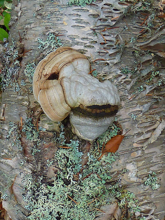 Fungus and lichen on a fallen birch tree.