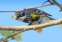 Courtesy photo/PHYLLIS KANE<br /> OUT ON A LIMB<br /> A yellow-rumped warbler rests on a branch at Lake Fayetteville. Phyllis Kane of Fayetteville took the picture April 12.