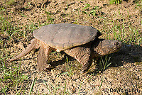 0611-0908  Snapping Turtle, Chelydra serpentina  © David Kuhn/Dwight Kuhn Photography