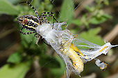 Banded Garden Spider (Argiope trifasciata) wrapping grasshopper prey in web, Lexington Wildlife Management Area, Oklahoma, USA