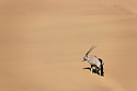 Namibia;  Namib Desert, Skeleton Coast oryx antelope (Oryx gazella)climbing sand dune