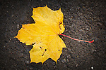 Autumn in Ireland, 2012: A closeup of a fallen yellow leaf on the pavement