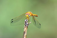 362750009 a wild female spot-winged meadowhawk sympetrum signiferum perches on a dead stick in las cienegas state natural area santa cruz county arizona united states