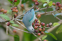 Blue-gray Tanager, Thraupis episcopus, adult eating on fig tree fruits, Bosque de Paz, Central Valley, Costa Rica, Central America