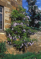 Wisteria vine flowering climbing stone wall of house, with Clematis in bloom climbing evergreen tree, blue sky and clouds on sunny spring day