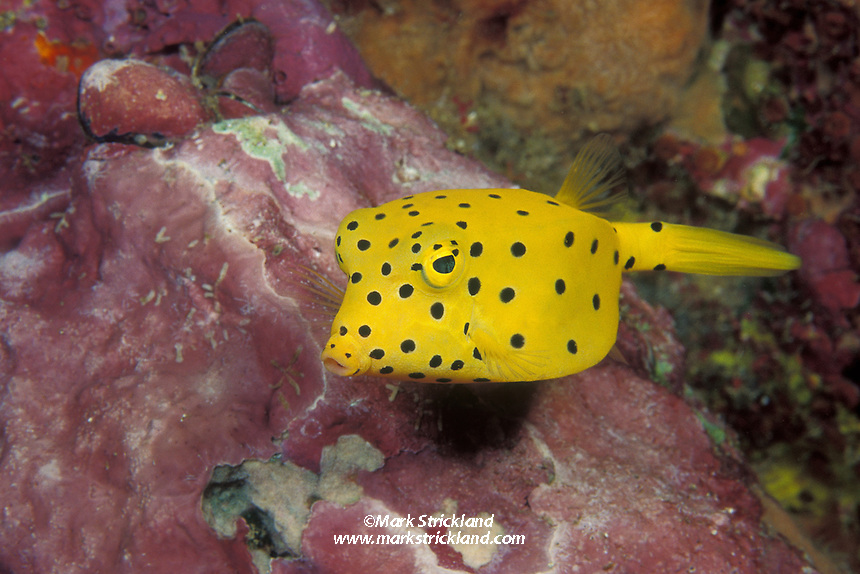 A juvenile Yellow Boxfish, Ostracion cubicus, peers out from a crevice.  Andaman Sea