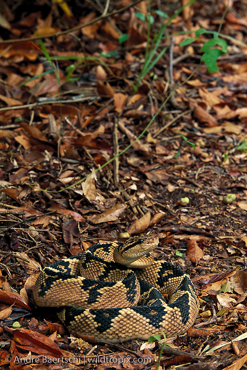 South American Bushmaster(Lachesis muta muta) camouflaged amidst leaf litter, lowland tropical rainforest, Madidi National Park, Bolivia.