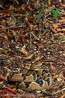 South American Bushmaster(Lachesis muta muta) camouflaged amidst leaf litter, lowland tropical rainforest, Madidi National Park, Bolivia.