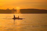 Two Killer whales Orcinus Orca at sunset. Tyfjord, Arctic Norway