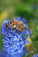 A honey bee on a Ceanothus flower