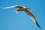 Forster's Tern - Terns of Orange County, California.  Photograph by Alan Mahood.