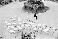 """01 Apr 1973, Nassau, New Providence, Bahamas --- In 1937, a Jamaican horticulturist named Hedley Edwards opened his 51-acre collection to the public. He called it Ardastra, from the Latin """"striving towards the stars"""". In the 1950's Hedley Edwards imported pink flamingos from Inagua in The Bahamas and trained them to march to his spoken commands. --- Image by © JP Laffont"""