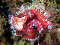 BNPS.co.uk (01202) 558833<br /> Picture: AnimalEarth<br /> <br /> A tube dwelling polychaetes has colourful tentacles for filter-feeding<br /> <br /> New book uncovers the animal world in all its profusion and glory featuring an astounding cornucopia of astonishing life.<br /> <br /> An extraordinary new book reveals the weird and wonderful diversity of life on earth with a selection of stunning pictures of some of the lesser known creatures that inhabit the planet.<br /> <br /> Author Ross Kemp has travelled the globe photographing and researching some of the worlds wackiest animals, many to small to be seen by the human eye, for his new book Animal Earth.<br /> <br /> The book shows the bizarre lives of some of the most unknown and overlooked animals on the planet. Incredible photographs by some of the World's best macro photographers show the marine world in unprecedented detail. Some of the photographs reveal weird and wonderful organisms that have transparent skin, bold colours and some even appear to glow in the dark. <br /> <br /> The book, Animal Earth, costs &pound;29.95 from thamesandhudson.