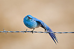 A Mountain Bluebird stretches its wing on a barbed wire fence in Montana