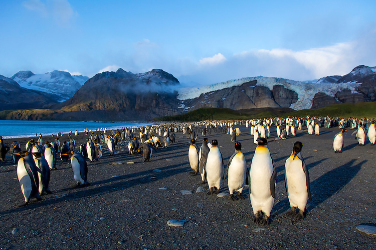The King Penguin Colony at Gold Harbour on the island of South Georgia, Britain, UK