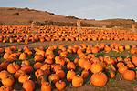 Rodoni's Pumpkin Patch