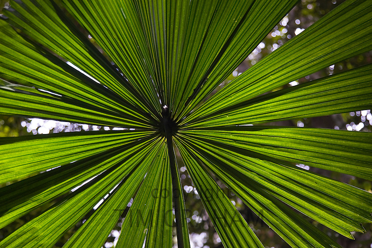 Fan Palm in the Daintree Rainforest, Northern Queensland, Australia