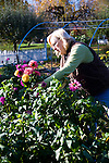 Sheryl and Dan Hall's historic Oregon City home, the White Kellogg House, an 1845 classic revival home set on 8 acres of farmland. Pictured is Sheryl Hall picking dahlias from one of her many gardens.