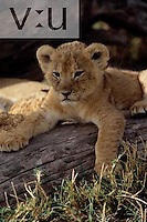 A six week old lion cub. ,Panthera leo, Masai Mara National Reserve, Kenya