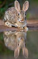 673280030 a wild desert cottontail rabbit sylvilagus audubonii drinks and sits at a small pond in the rio grande valley of south texas