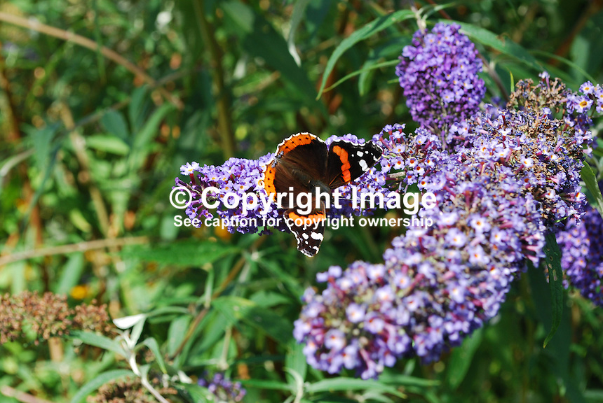 Red Admiral butterfly photographed on a Buddleja bush not inappropiately named the butterfly bush. This butterfly is common throughout Britain and Ireland. In northern Europe, it is one of the last butterflies to be seen before winter sets in.  2011080038.   Copyright Image from Victor Patterson, 54 Dorchester Park, Belfast, United Kingdom, UK.  Tel: +44 28 90661296..For my Terms and Conditions of Use go to http://www.victorpatterson.com/Victor_Patterson/Terms_%26_Conditions.html