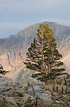 Lodgepole Pine (Pinus contorta) and Silver Peak, Toiyabe National Forest, California