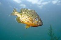Pumpkinseed Sunfish, Underwater