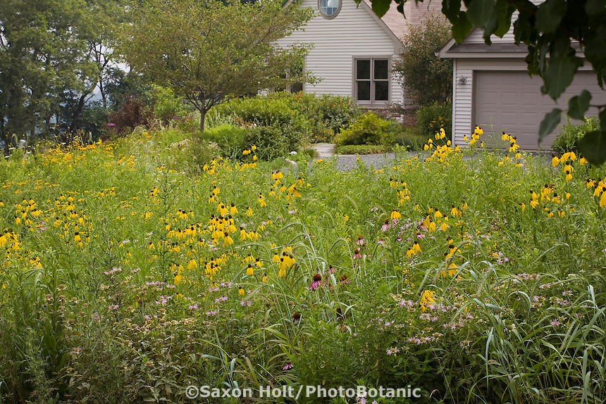 Pennsylvania naturalistic meadow garden lawn substitute with wildflowers, Yellow Cone flower (Ratibida pinnata) and Canadian Wild Rye grass