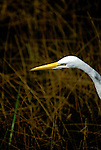 FL: Florida Everglades National Park, bird, egret.  .Photo Copyright: Lee Foster, lee@fostertravel.com, www.fostertravel.com, (510) 549-2202.Image: flever261