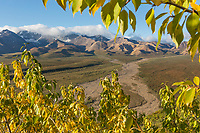 Yellow balsam poplar leaves frame the grand scene of the Polychrome mountains in Denali National Park, Alaska.