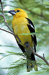 Yellow grosbeak, Pheucticus chrysopeplas, Sonoran Desert, Arizona