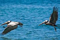 Brown Pelicans.US Virgin Islands