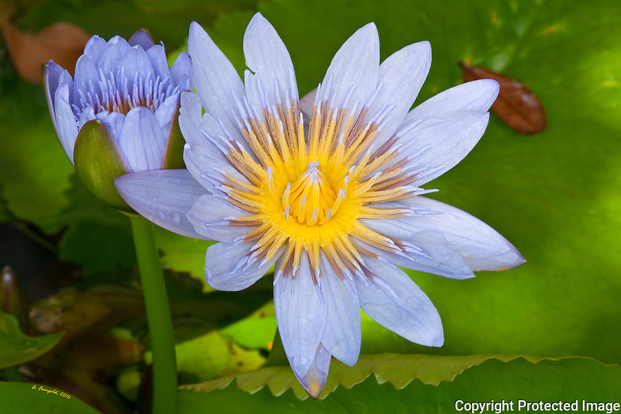 Beautiful blooming lily pad flowers, blue yellow flowers, post rain shower, miami florida, tropical flowers<br />