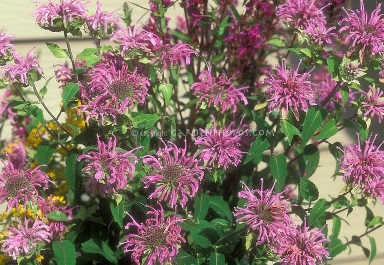 Native American wildflower beebalm, Monarda fistulosa in lavender summer bloom