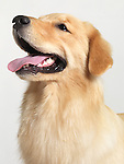 Golden Retriever four month old puppy closeup portrait isolated on white background