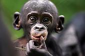 Bonobo baby aged 9-12 months portrait (Pan paniscus), Lola Ya Bonobo Sanctuary, Democratic Republic of Congo.
