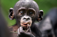 Bonobo baby aged 9-12 months portrait (Pan paniscus), Lola Ya Bonobo Sanctuary, Democratic Republic of Congo.
