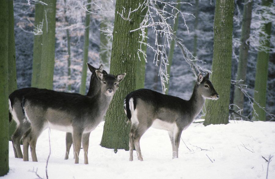 Damhirsch, Dam-Hirsch, Damwild, Gruppe von Weibchen im Schnee, Dam-Wild, Cervus dama, Dama dama, fallow deer
