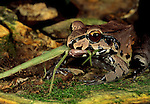 A South American bullfrog eating a walking stick insect in the Tambopata-Candamo National Reserve in Peru