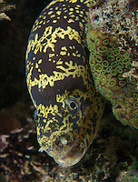 Chain Moray Eel on a shallow reef.