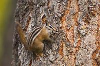 Uinta Chipmunk, Tamias umbrinus, adult on bark of Ponderosa pine(Pinus ponderosa), Rocky Mountain National Park, Colorado, USA
