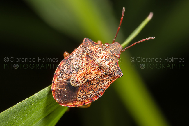 A Stink Bug (Dendrocoris humeralis) perches on vegetation.