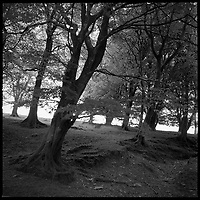 Trees, Exmoor | Black and White Photography