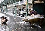 Two visitors take a photo near Rachel the pig at the Pikes Place Market after a snowstorm hit the Seattle area early Wednesday morning dumping at least 4 to six inches and will likely continue into the afternoon it a tough commute for drivers  in Seattle on January 18, 2012.  ©2012. Jim Bryant Photo. All Rights Reserved.